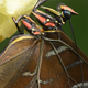 Close up of tropical Morpho butterfly coming out of chrysalis - PhotoDune Item for Sale