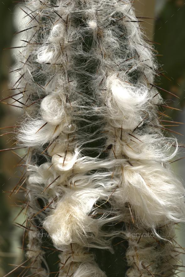 Detail of old man cactus beard growing around thorns - Stock Photo - Images