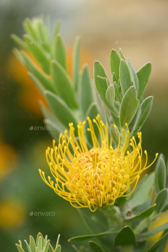 Pincushion flower formation of Leuocospermum cordifolium, plant of South Africa. - Stock Photo - Images