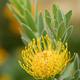 Pincushion flower formation of Leuocospermum cordifolium, plant of South Africa. - PhotoDune Item for Sale