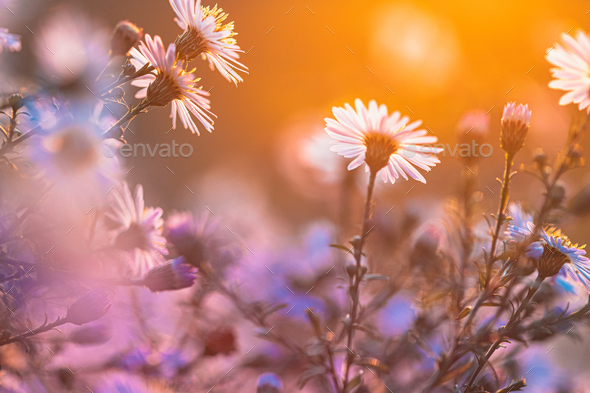 Blooming Aster Perennial Flowering Plants In The Family Asteraceae. Bush In Autumn Season - Stock Photo - Images