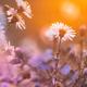 Blooming Aster Perennial Flowering Plants In The Family Asteraceae. Bush In Autumn Season - PhotoDune Item for Sale