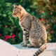 Portrait Of Homeless Gray Cat Resting Outdoor In Street - PhotoDune Item for Sale