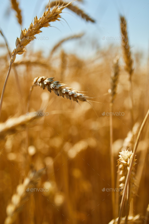 Wheat harvest, wheat field on the background of blue sky in the sun day, summer - Stock Photo - Images
