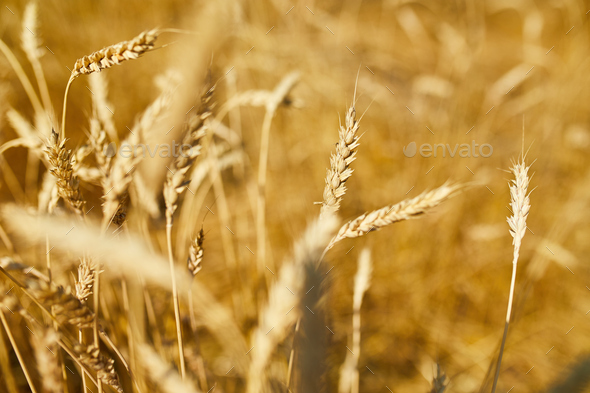Close up wheat harvest, wheat field background in the sun day, summer - Stock Photo - Images