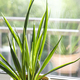Sansevieria parva (Kenya Hyacinth) in a clay terracotta flower pot stands on the windowsill. - PhotoDune Item for Sale