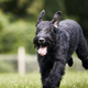 Dog running on meadow - PhotoDune Item for Sale