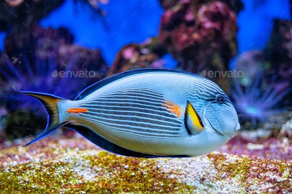 Sohal Surgeonfish underwater - Stock Photo - Images