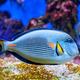 Sohal Surgeonfish underwater - PhotoDune Item for Sale