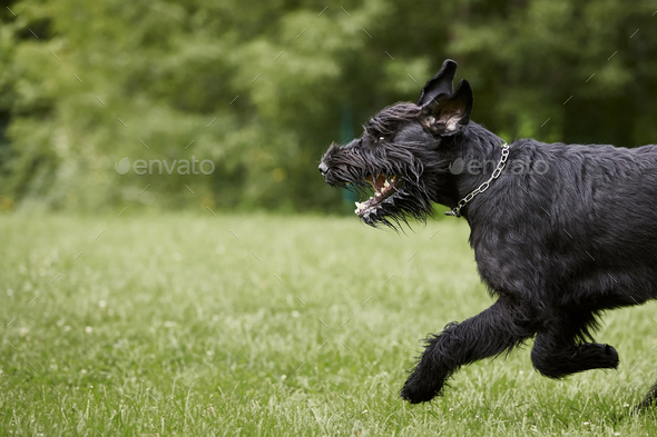 Dog running on meadow - Stock Photo - Images