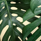 Natural background with tropical monstera leaf close up. - PhotoDune Item for Sale