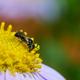 Little black Stingless bees on the daisy flower - PhotoDune Item for Sale
