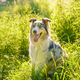 Lovely dog Australian Shepherd sitting in grass with tongue out and resting after morning walk in - PhotoDune Item for Sale