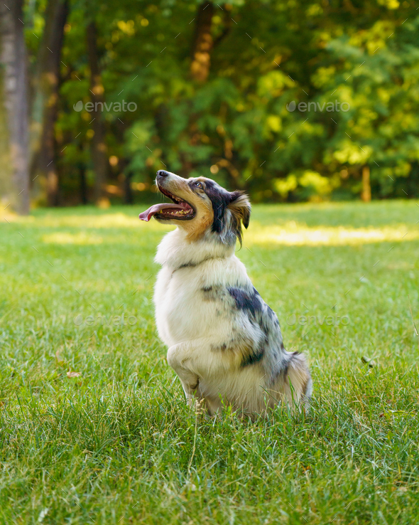 Lovely dog Australian Shepherd sitting in grass with tongue out and resting after morning walk in - Stock Photo - Images
