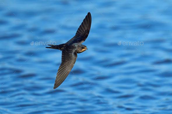 Barn swallow (Hirundo rustica) - Stock Photo - Images