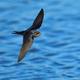 Barn swallow (Hirundo rustica) - PhotoDune Item for Sale