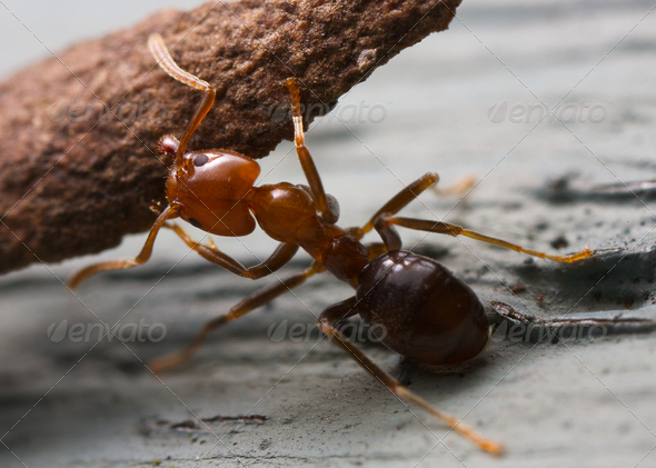 Strong ant (1) - Stock Photo - Images