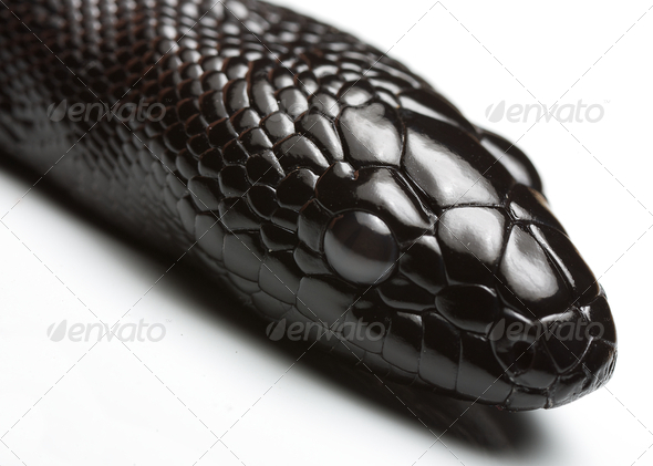black headed python - Stock Photo - Images