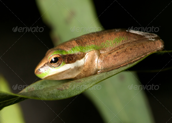 Pygmy tree frog - Stock Photo - Images