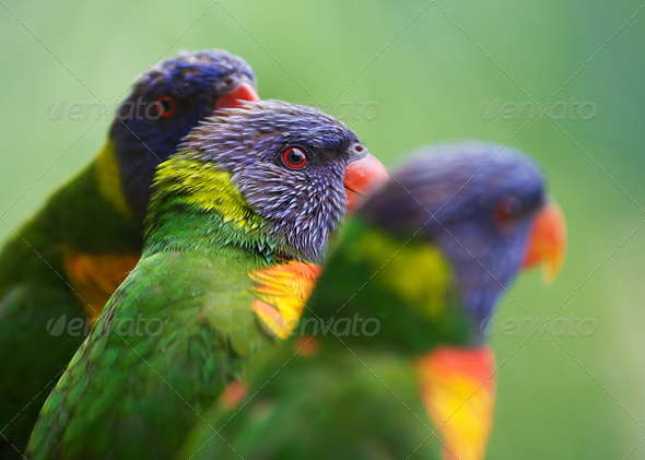 Three lorikeets - Stock Photo - Images
