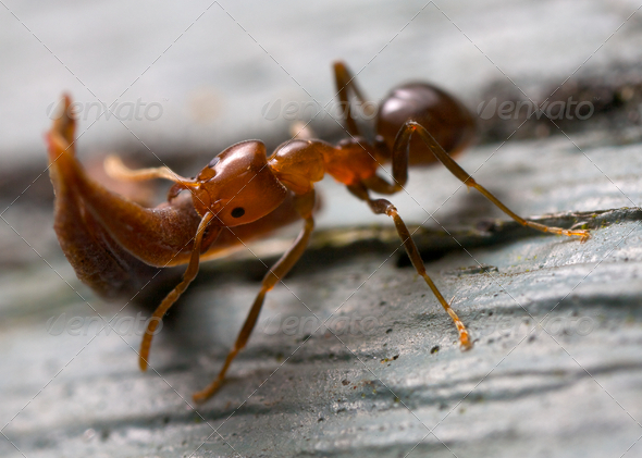 strong ant lifting wood - Stock Photo - Images