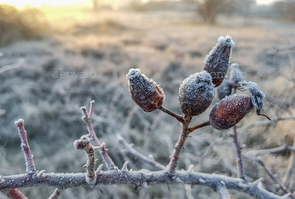 frozen rose - Stock Photo - Images