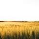 Agriculture concept with golden wheat grain fields panorama photography - PhotoDune Item for Sale