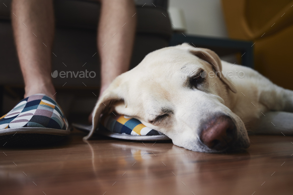 Old dog sleeping on leg his owner - Stock Photo - Images