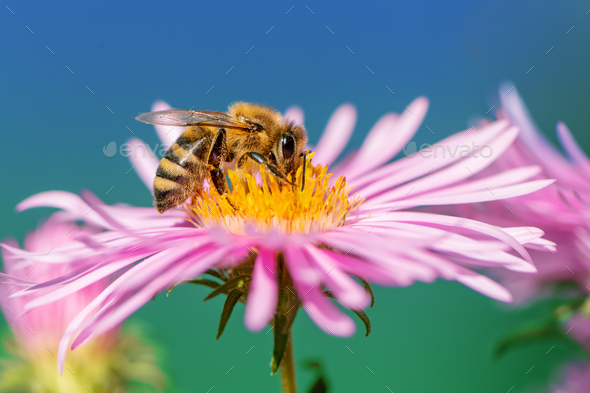 Bee collecting nectar at a pink aster blossom - Stock Photo - Images