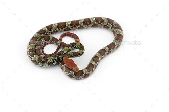 100 Flower rat snake isolated on white background - Stock Photo - Images