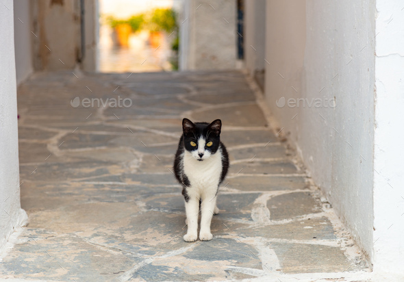 Black and white cat is standing at Paros island, Naoussa building of village, Cyclades, Greece. - Stock Photo - Images
