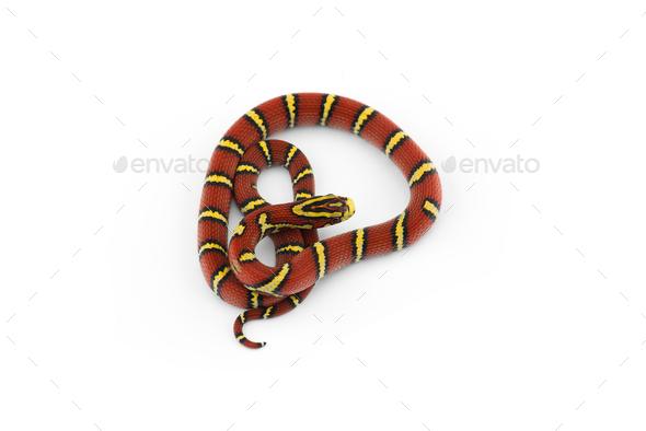Burmese Bella Rat Snake isolated on white background - Stock Photo - Images