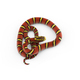 Burmese Bella Rat Snake isolated on white background - PhotoDune Item for Sale
