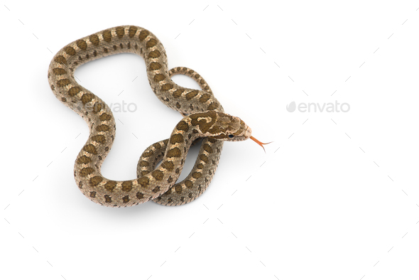 David's rat snake isolated on white background - Stock Photo - Images