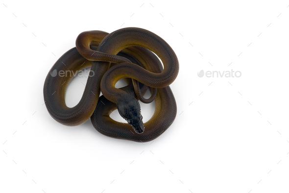 rainbow White-lipped Python isolated on white background - Stock Photo - Images