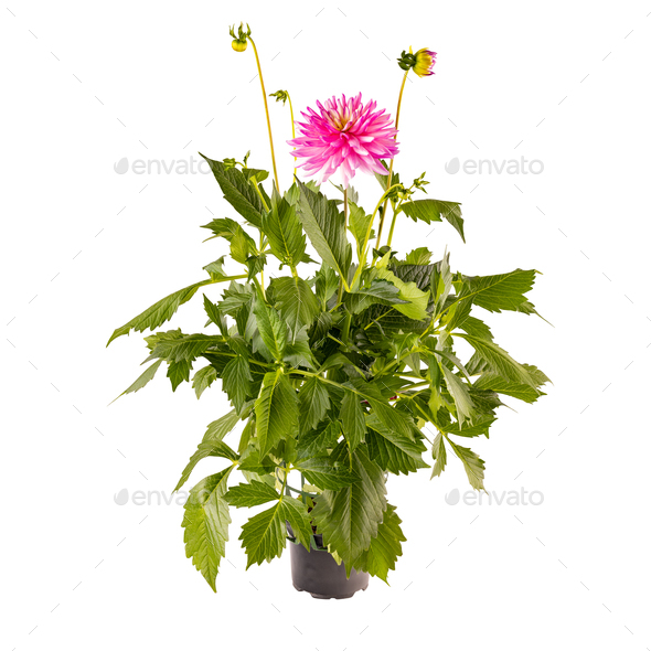 Pink dahlia in full bloom - Stock Photo - Images