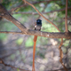An African Paradise Flycatcher, Terpsiphone viridis, displays its long tail - PhotoDune Item for Sale