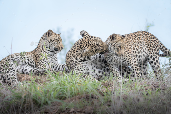 Leopard, Panthera pardus, and her two cubs grooming - Stock Photo - Images