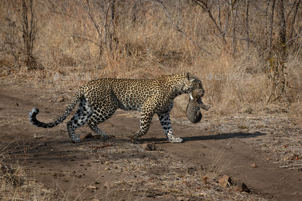 A leopard, Panthera pardus, carries her cub in her mouth - Stock Photo - Images