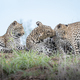 Leopard, Panthera pardus, and her two cubs grooming - PhotoDune Item for Sale