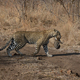 A leopard, Panthera pardus, carries her cub in her mouth - PhotoDune Item for Sale