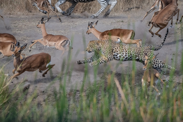 A leopard, Panthera pardus, chases an impala, Aepyceros melampus - Stock Photo - Images