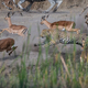 A leopard, Panthera pardus, chases an impala, Aepyceros melampus - PhotoDune Item for Sale