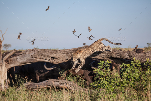 A leopard, Panthera pardus,leaping from a log, buffalo hiding underneath - Stock Photo - Images