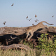 A leopard, Panthera pardus,leaping from a log, buffalo hiding underneath - PhotoDune Item for Sale