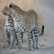 A mother leopard and her cub, Panthera pardus, greet each other - PhotoDune Item for Sale