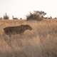 A lioness with no tail, Panthera leo, - PhotoDune Item for Sale