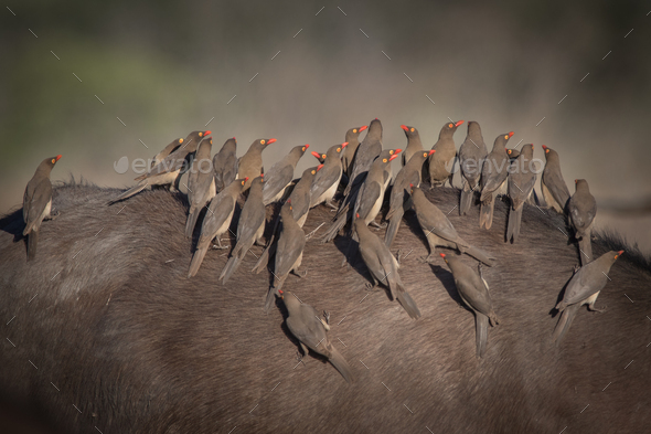 A flock of red billed oxpeckers, Buphagus erythrorhynchus - Stock Photo - Images