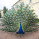Peacock with the tail spread - PhotoDune Item for Sale