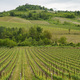 Vineyards in Oltrepo Pavese, italy, at springtime - PhotoDune Item for Sale